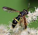 Syrphid - Ceriana abbreviata - female