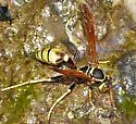 Potter wasp? - Mischocyttarus flavitarsis