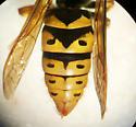 Vespula flavopilosa queen - Vespula flavopilosa - female