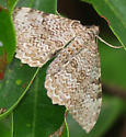 Rheumaptera prunivorata or undulata - Rheumaptera
