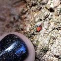 larvae - Egius platycephalus