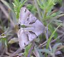 Black brown moth - Caenurgina
