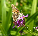 American Lady?  Painted Lady?  Had both butterflies feeding on Dame's Rocket at the same time! - Vanessa virginiensis