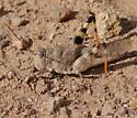 Red-winged grasshopper - Heliastus benjamini - female
