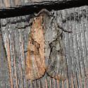 May Moth 3 - Achatia distincta