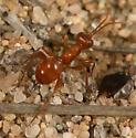 Wingless Wasp? - Gelis - female