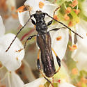 Longhorn - Callimoxys sanguinicollis