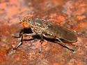 Fly - Atrichomelina pubera