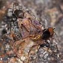 Mating flies - Simulium - male - female
