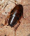 wood roach nymph - Parcoblatta virginica