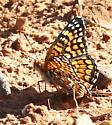 Checkerspot sp? - Chlosyne acastus