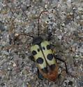 Coleoptera  - Judolia instabilis - female