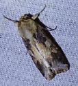 unknown moth - Spodoptera