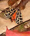 Tiger moth - Grammia parthenice - female