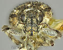 Weevil - Sitona californius