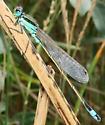 Rambur's Forktail - Ischnura ramburii - male