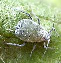 Mealy cabbage aphid - Brevicoryne brassicae