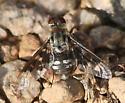 unknown bee fly - Thyridanthrax fenestratoides