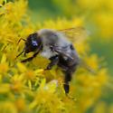 Bumblebee - Bombus impatiens