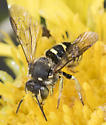 Unknown Bee - Dianthidium
