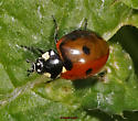 Seven-spotted Lady Beetle  two toned - Coccinella septempunctata