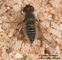 Bee Fly - Aphoebantus