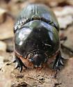 Black Beetle - Xyloryctes jamaicensis