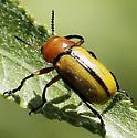 Small Beetle - Anomoea laticlavia