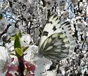 white butterfly - Pontia occidentalis