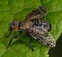 Signal fly Platystoma seminationis - Platystoma seminationis