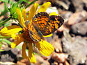 crescent butterfly - Phyciodes tharos