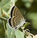 Melissa Blue - Plebejus melissa - female