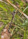 DFlyArrowheadSpiketail_Corulegaster_obliqua06152018_SD_ - Cordulegaster obliqua - male