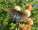 Papilio glaucus black form? - Papilio glaucus
