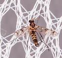 Proceroplatus elegans? - male