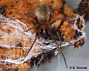 Fuzzy spider - Metaltella simoni