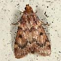 Moth - Aglossa disciferalis