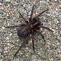 Spider - Coras - female