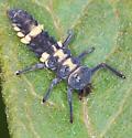 lady beetle - Coelophora inaequalis