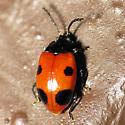 Fake Ladybug? - Endomychus biguttatus