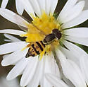 Patterened hover fly - Toxomerus geminatus