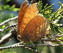 Goatweed Leafwing - Anaea andria - Anaea andria - male