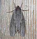 Baldcypress sphinx - Isoparce cupressi