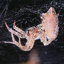 Cyrtophora citricola - Tropical tent-web spider - Cyrtophora citricola - female