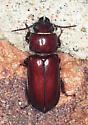 Coleoptera - Neandra brunnea