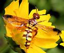 Crioscolia flammicoma ? - Trielis octomaculata - female