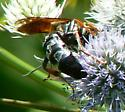 Sphecid wasp on Eryngium from Wakulla County Florida - Tachytes