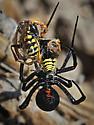 Black Widow attracts and kills two male Polistes dominula - Latrodectus hesperus - female