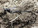 Female Pelecinid Wasp (Pelecinus polyturator) - Pelecinus polyturator - female