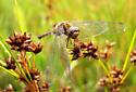 Autumn Meadowhawk. - Sympetrum vicinum
